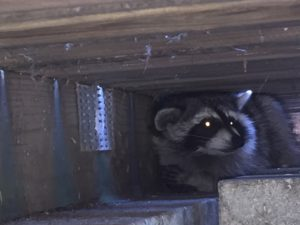 raccoon-after